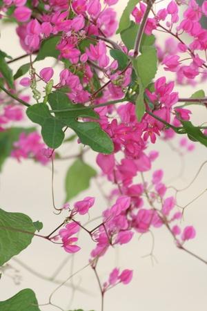 Purple flowers, Thailand. photo