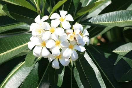 Frangipani flowers, Thailand. Stock Photo - 8533682