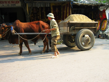 Cow pulling a cart in Vietnam