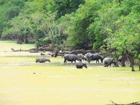 Buffalo crossing a river in Cambodia                               photo