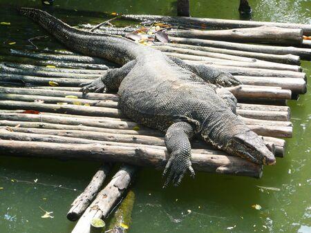 Lizards in Thailand  photo