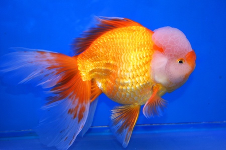 Goldfish on display in Future park shopping center, Bangkok, Thailand  photo