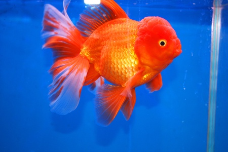 Goldfish on display in Future park shopping center, Bangkok, Thailand Stock Photo - 14434866