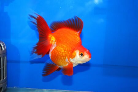 Goldfish on display in Future park shopping center, Bangkok, Thailand  Stock Photo - 14434909