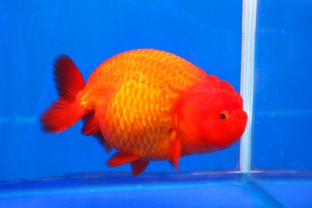 Goldfish on display in Future park, Bangkok, Thailand  photo
