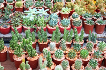 Cacti for sale in Bangkok, Thailand  photo