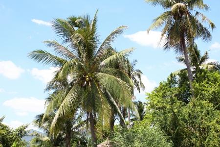 Palm trees under a blue sky, Thailand Stock Photo - 15478057
