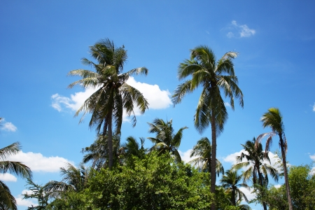 Palm trees under a blue sky, Thailand  photo
