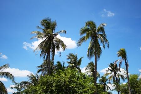Palm trees under a blue sky, Thailand Stock Photo - 15478009