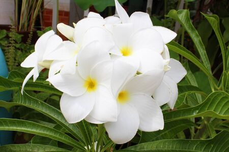 Frangipani flowers in Thailand Stock Photo - 16136200