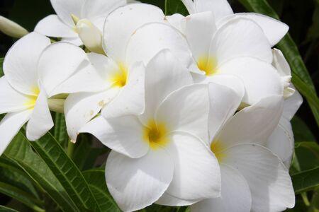 Frangipani flowers in Thailand Stock Photo - 16136199