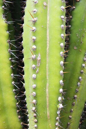 Cactus in a garden in Thailand Stock Photo - 16135408