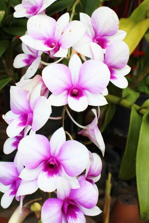 Purple Orchid flowers in Thailand  photo