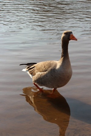 ouse: Goose Paddling in River Ouse, York, England