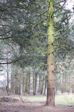 glen: Pine Wood, Lincolnshire, England  Stock Photo