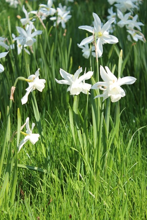 Narcissi in Spring, England photo