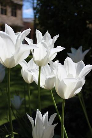 White Ornamental Tulips, England photo