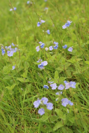 Speedwell Flowers, England photo