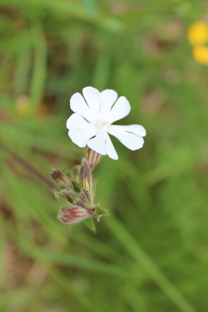 dainty: Dainty White Flowers, England Stock Photo