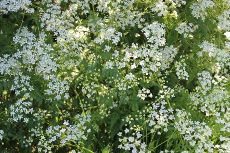 Cow Parsley in Spring, England photo