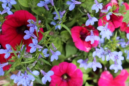 lobelia: Pink Petunia, Blue Lobelia, England