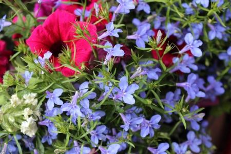petunia wild: Pink Petunia, Blue Lobelia, England