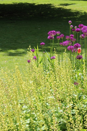 Purple Allium Flowers, England  photo