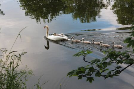 Swans and Cygnets, England Stock Photo