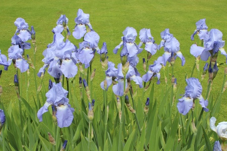 Iris Flowers in Summertime, England photo