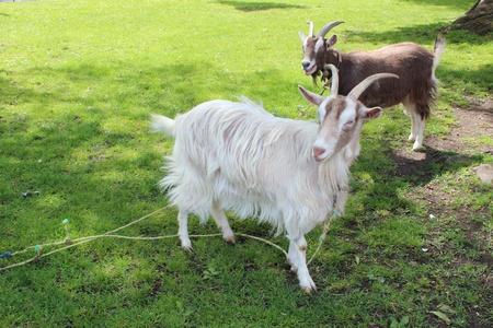 bred: Goats on Village Green, England Stock Photo