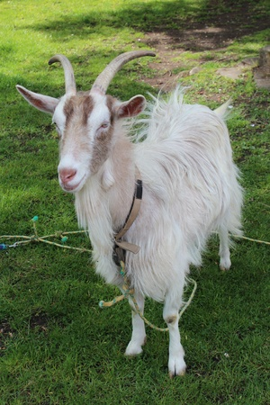 bred: Goat on Village Green, England