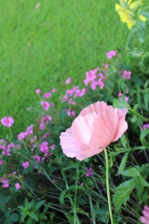 vibrant cottage: Pink Poppy, England
