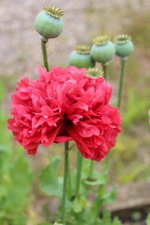 vibrant cottage: Multi-Petalled Poppy in Cottage Garden, England