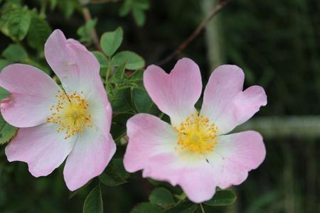 wild  rose: Wild Rose, Yorkshire, Inghilterra
