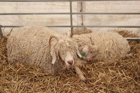 mohair: Mohair Goat Kids, England