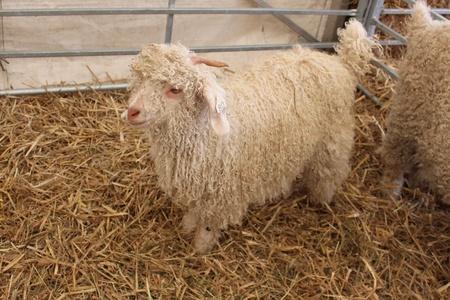 mohair: Mohair Goat Kid, England
