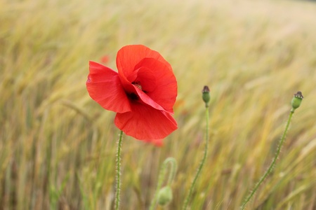 Red Poppy in Cornfield, England  photo