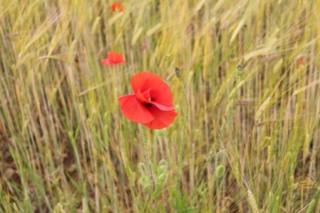 ear buds: Red Poppy in Cornfield, England  Stock Photo