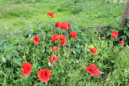 trembling: Wild Red poppies, England