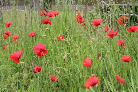 Wild Red poppies, England