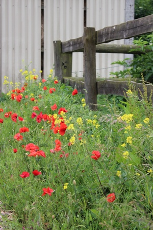 outbuilding: Wild Red poppies, England