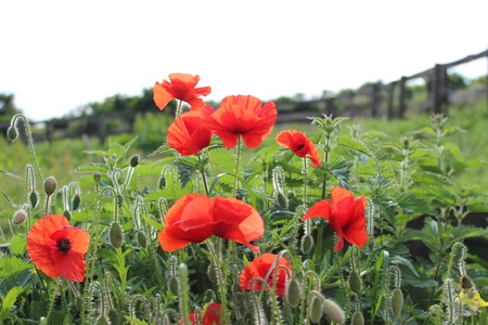 trembling: Wild Red Poppies in Sunlight, England  Stock Photo