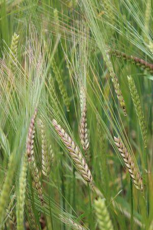 fertile frond: Barley, Summertime, England