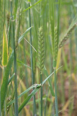 fertile frond: Barley, Summertime, England  Stock Photo