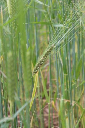 Barley, Summertime, England photo