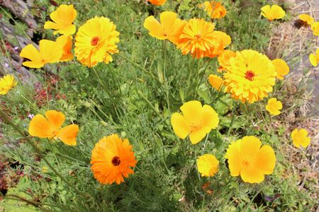 yellow  ochre: Orange Poppies and Marigolds, Summer, England