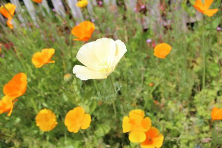 Orange Poppies and Marigolds, Summer, England  photo