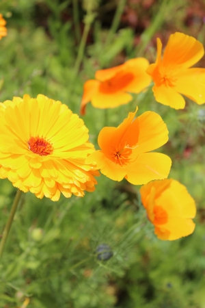 Orange Poppies and Marigolds, Summer, England  photo
