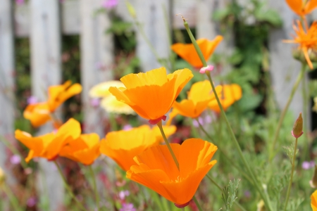 Orange Poppies, Summer, England  photo