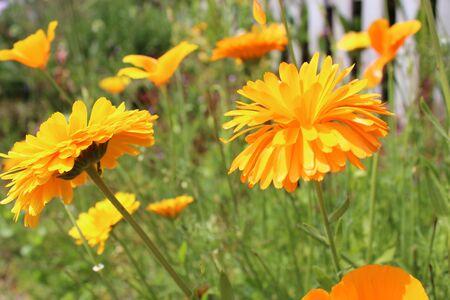 ringelblumen: Orange Poppies und Ringelblumen, Sommer, England Lizenzfreie Bilder